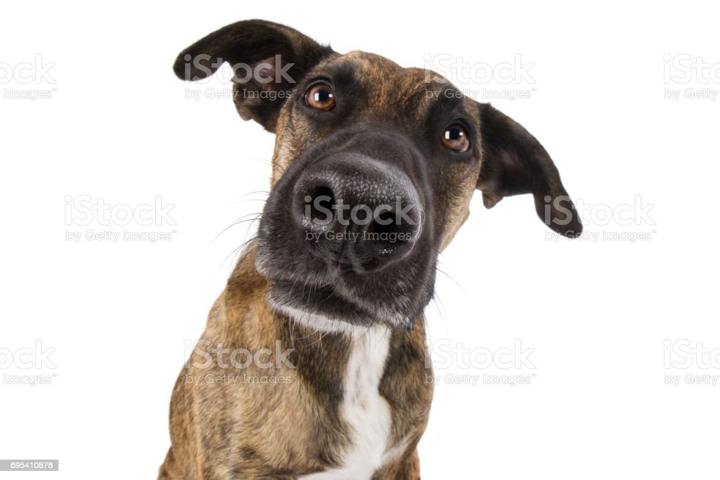 Staffordshire Terrier Hund Mischling Kopf mit großer Nase guckt lustig albern Weitwinkel stock photo