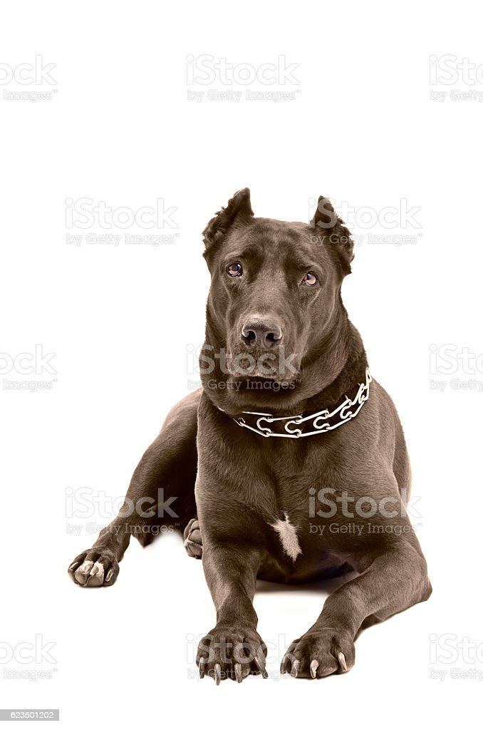 Staffordshire terrier lying on a white background stock photo