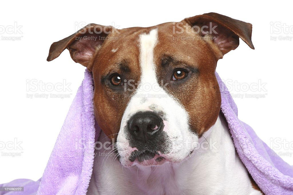 Staffordshire terrier, lying under soft blanket royalty-free stock photo