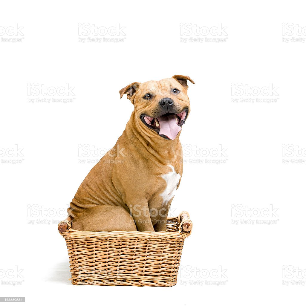 staffy in the basket stock photo