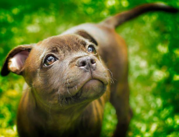 staffy pup - pitbull welpen stock-fotos und bilder