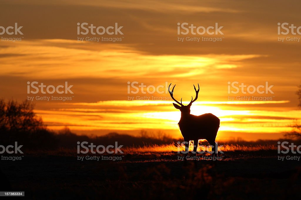 Stag at Dawn royalty-free stock photo