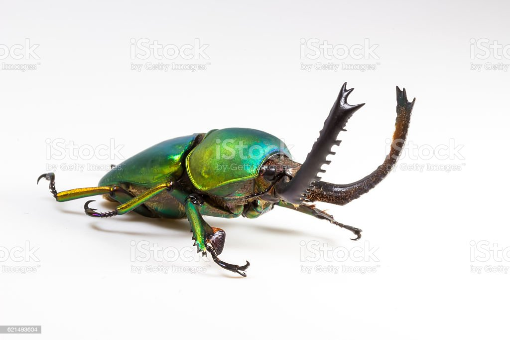 Stag Beetle (Lamprima adolphinae), Beelte foto stock royalty-free