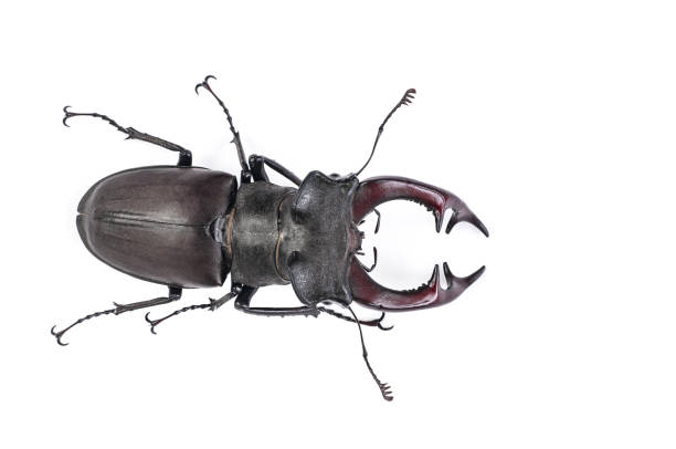 stag beetle big bug (Lucanus cervus) on white background stock photo