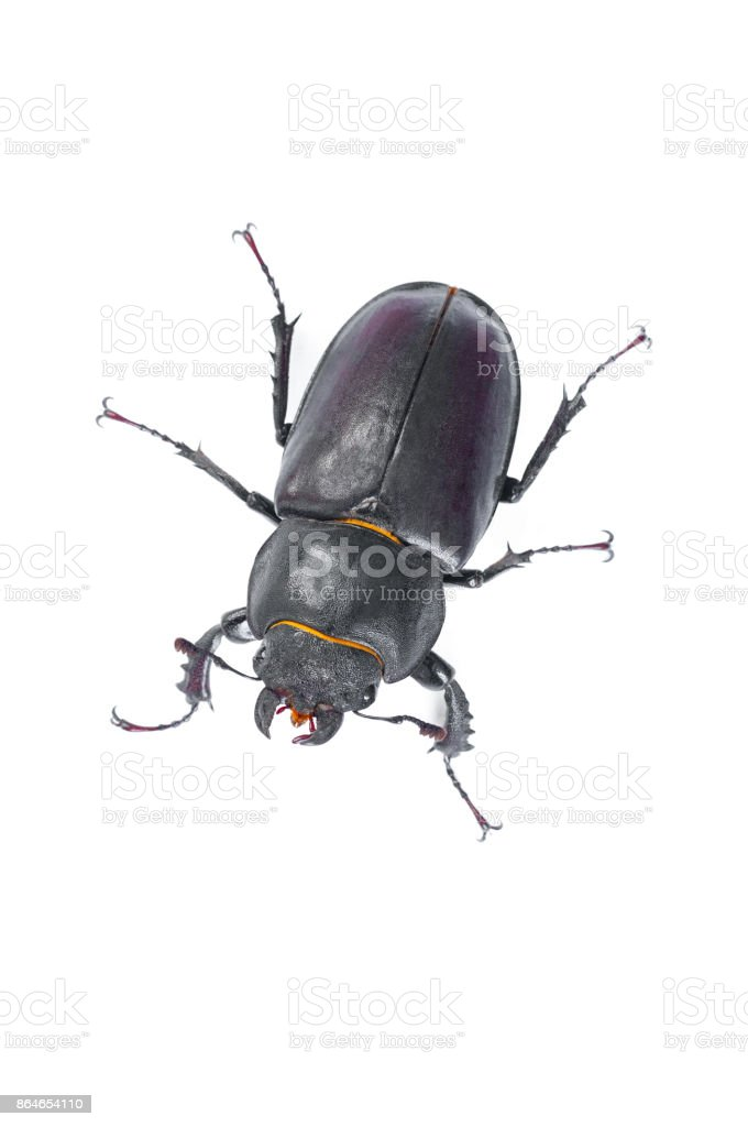 Stag Beetle Bug, Female stag-beetle, Hi resolution studio photography stock photo