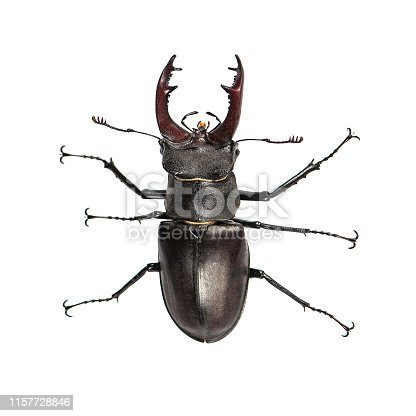 Stag beetle, Lucanus cervus, isolated on white Closeup Top view.