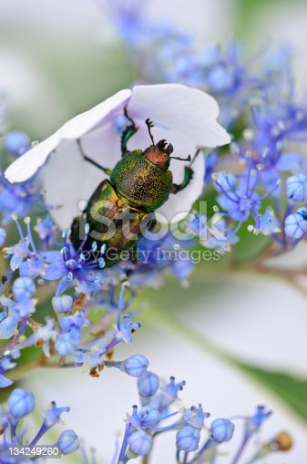 Stag beetle on lace-cap hydrangea. Initial Rating 5! Thank you, iStock