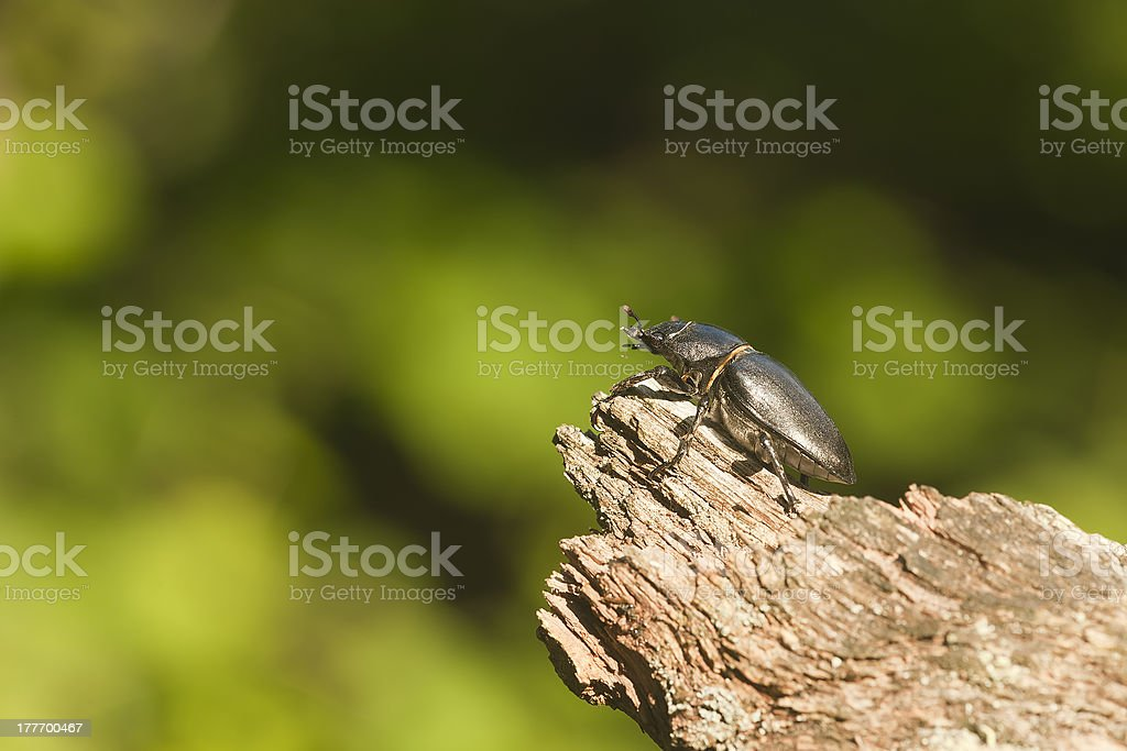 Stag beetle on oak, macro photo royalty-free stock photo