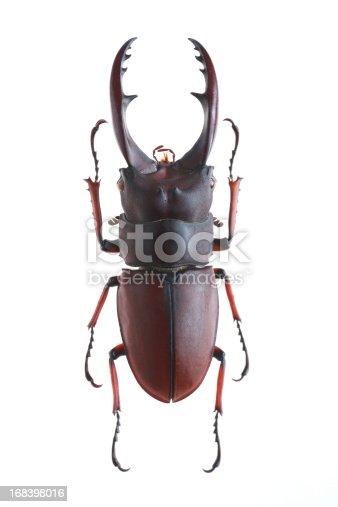 Stag Beetle(Prosopocoilus astacoides elaphus)