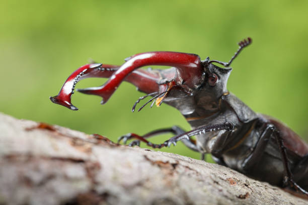 Stag Beetle upper part stock photo