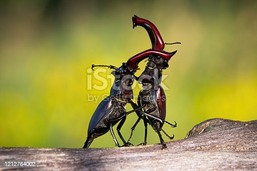 Stag beetles, lucanus cervus, standing in an upright position during a territorial combat. Two large black and brown insects with antlers dancing in nature.