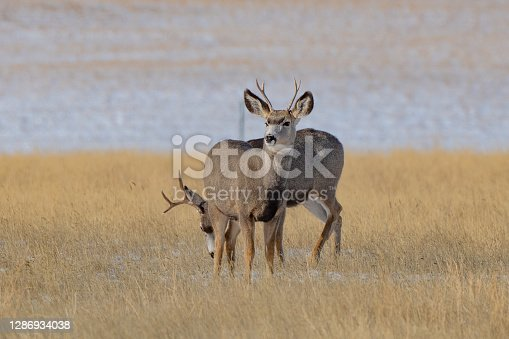 Stag deer standing next to each other
