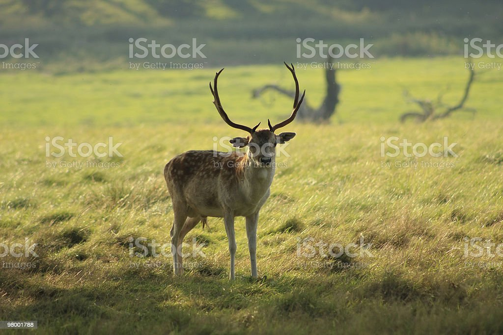 Stag Deer royalty-free stock photo