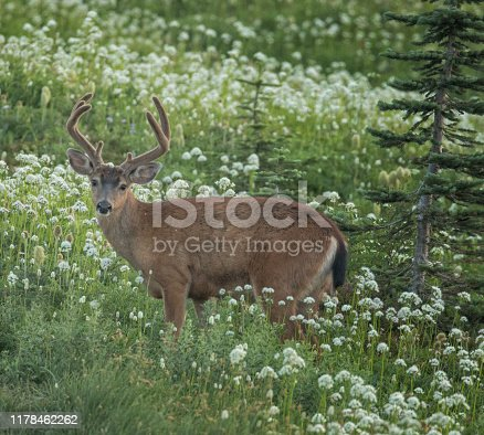 A male buck deer/stag in a meadow surrounded by wildflowers in Mt. Rainier National Park.