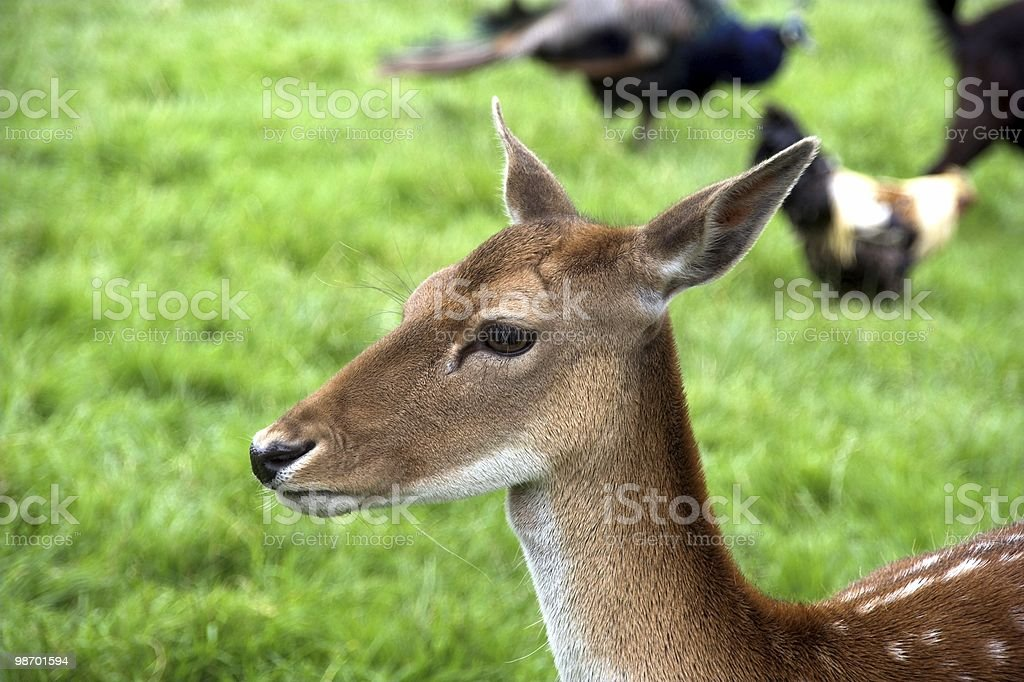 Stag in field royalty-free stock photo