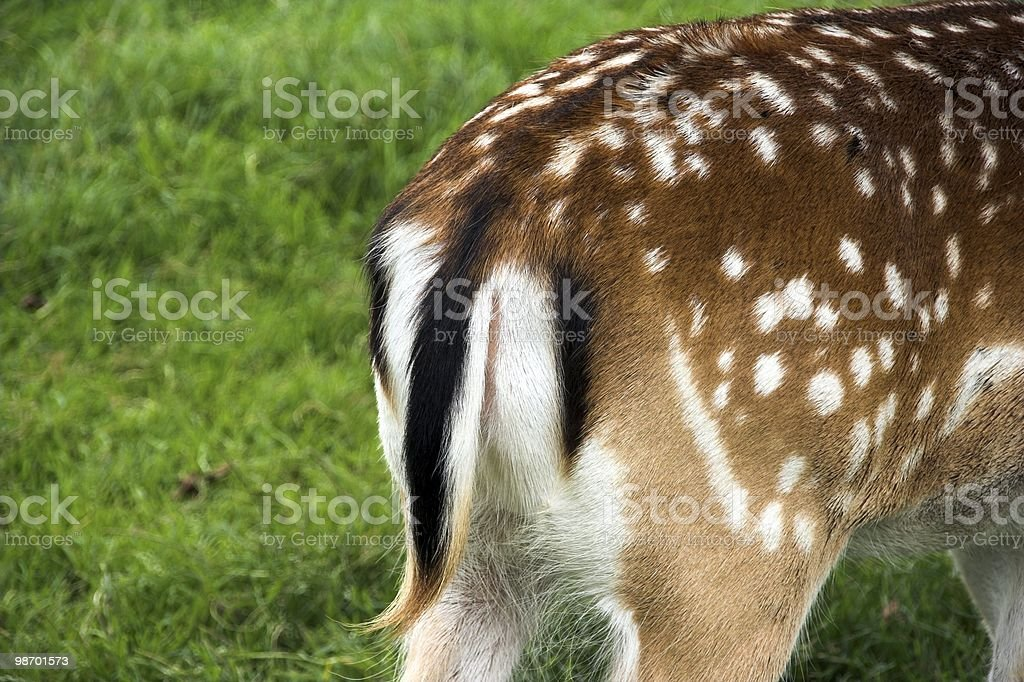 Stag rear-end royalty-free stock photo