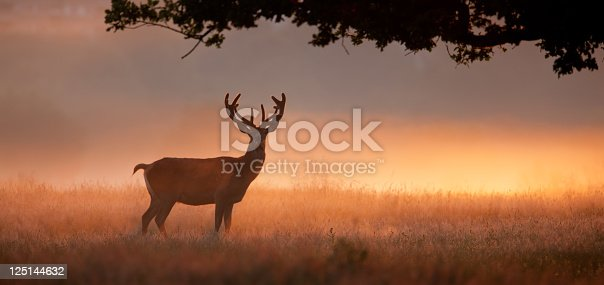 Mature Red Deer stag silhouetted against backlit early morning mist with an over hanging oak tree