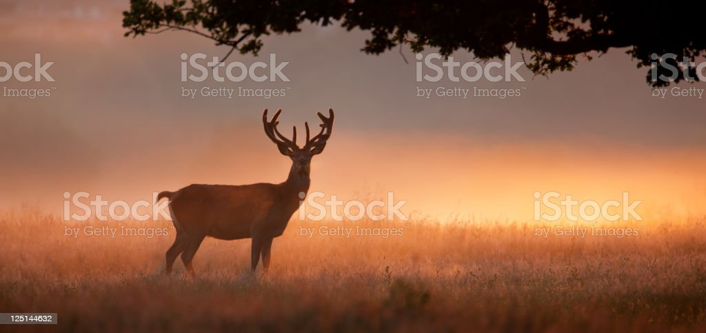 Stag with large antlers standing in meadow at dawn stock photo