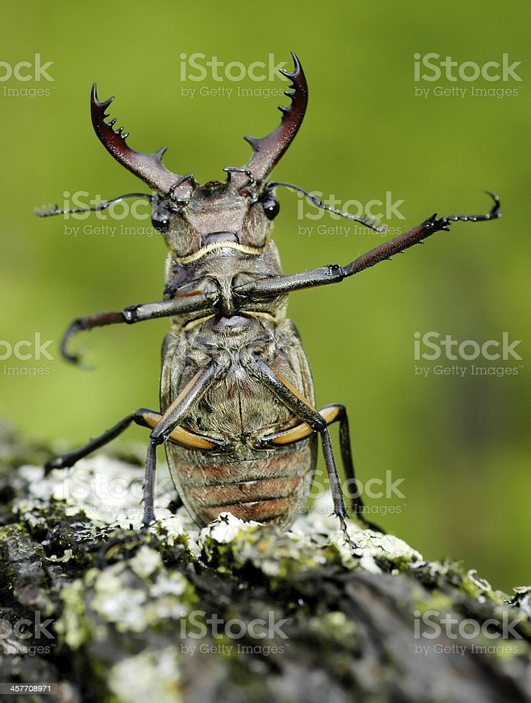 Stag-beetle royalty-free stock photo