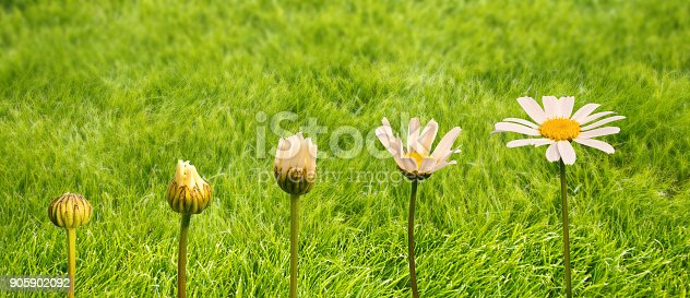 istock Stages of growth and flowering of a daisy, green grass background, life and transformation concept 905902092