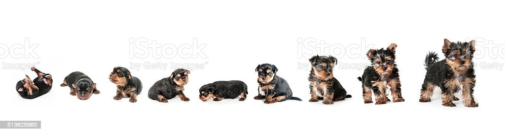Stages of growth puppy yorkshire terrier stock photo