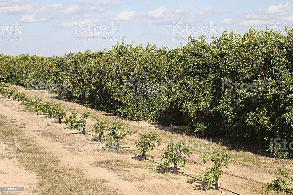 Stages of Orange Trees royalty-free stock photo