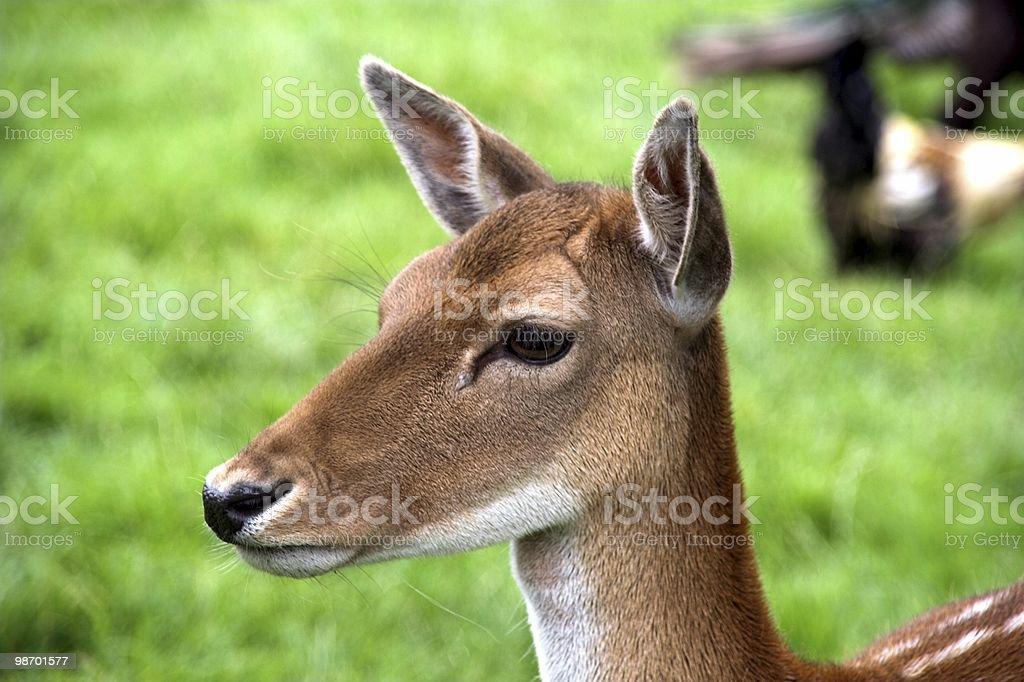 숫사슴-head royalty-free 스톡 사진