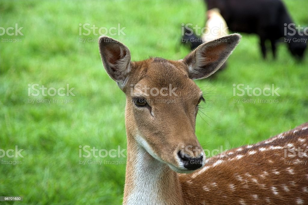 Stag-head royalty-free stock photo