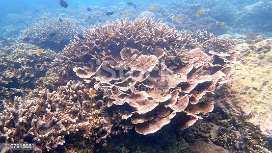 Staghorn coral and Leaf Coral are a group of marine in Nyaungoopee Island, Myanmar