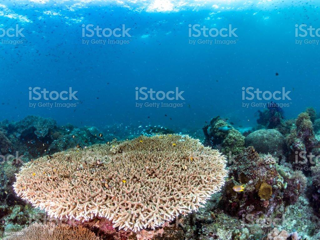 Fotografía de Coral Cuerno De Ciervo Fondo Azul Indonesia y más ...