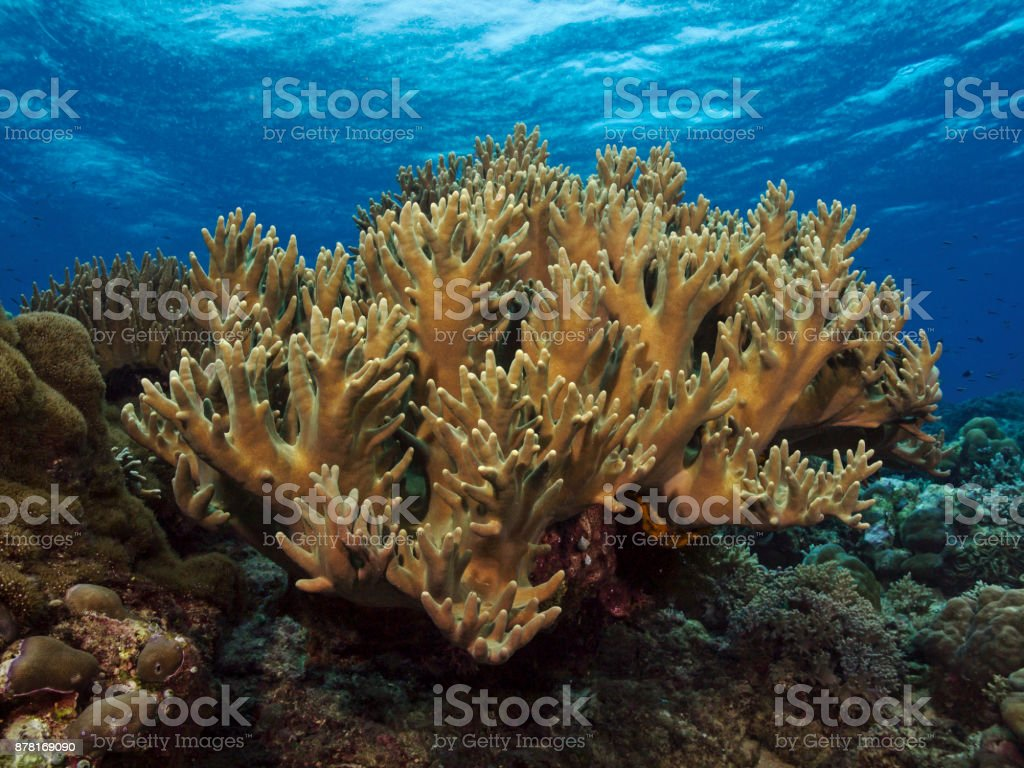 Staghorn Coral, Geweihkoralle stock photo
