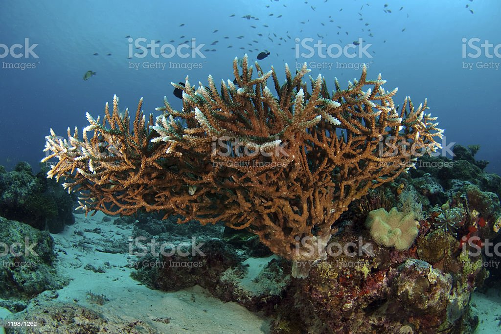 Staghorn Coral (Acropora formosa) stock photo