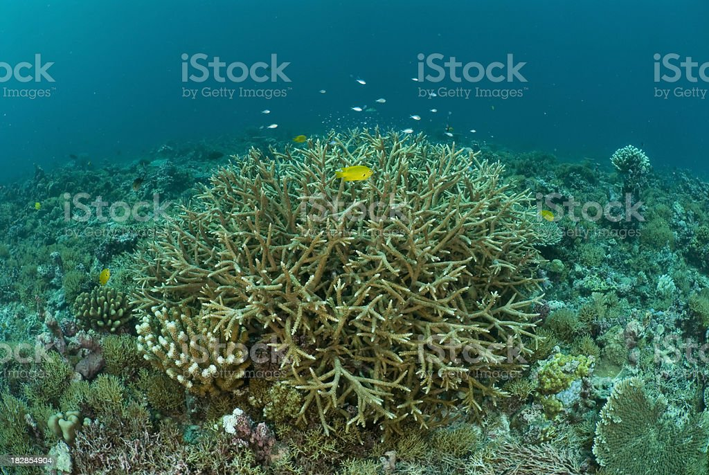 staghorn coral stock photo