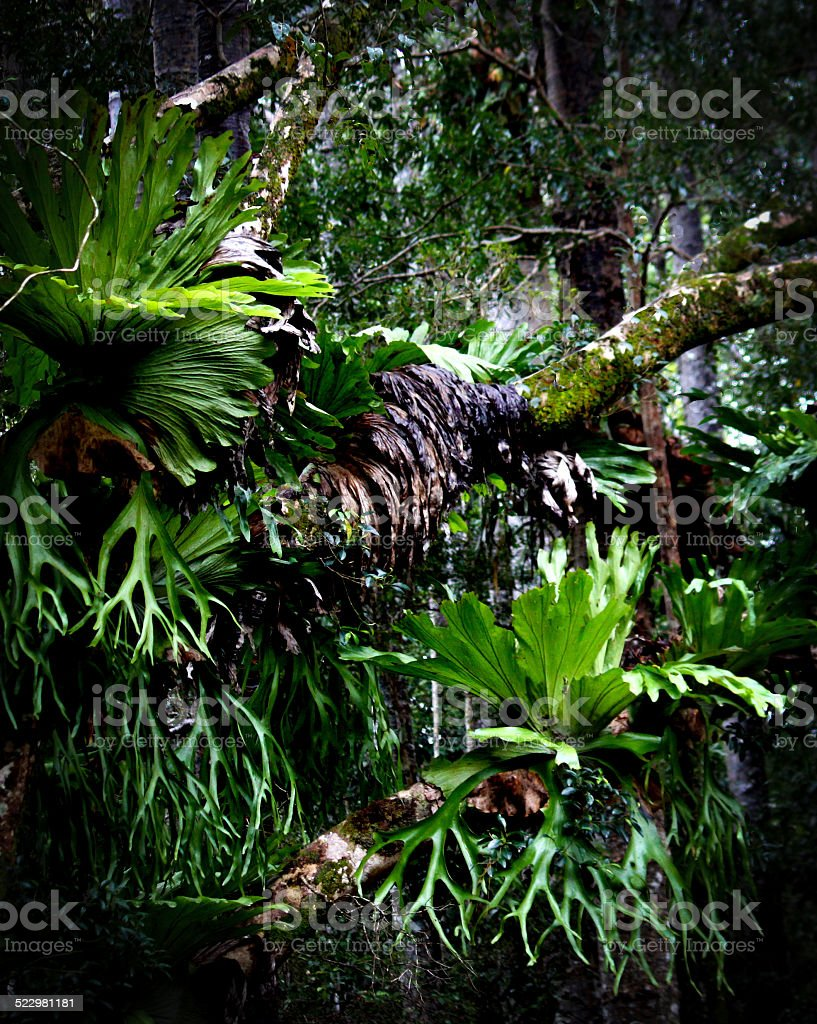 Staghorn Fern Forest stock photo