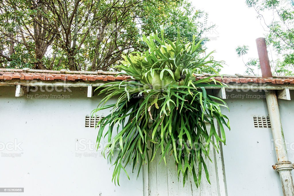 Staghorn Fern Growing from Eaves of Tiled Roof stock photo