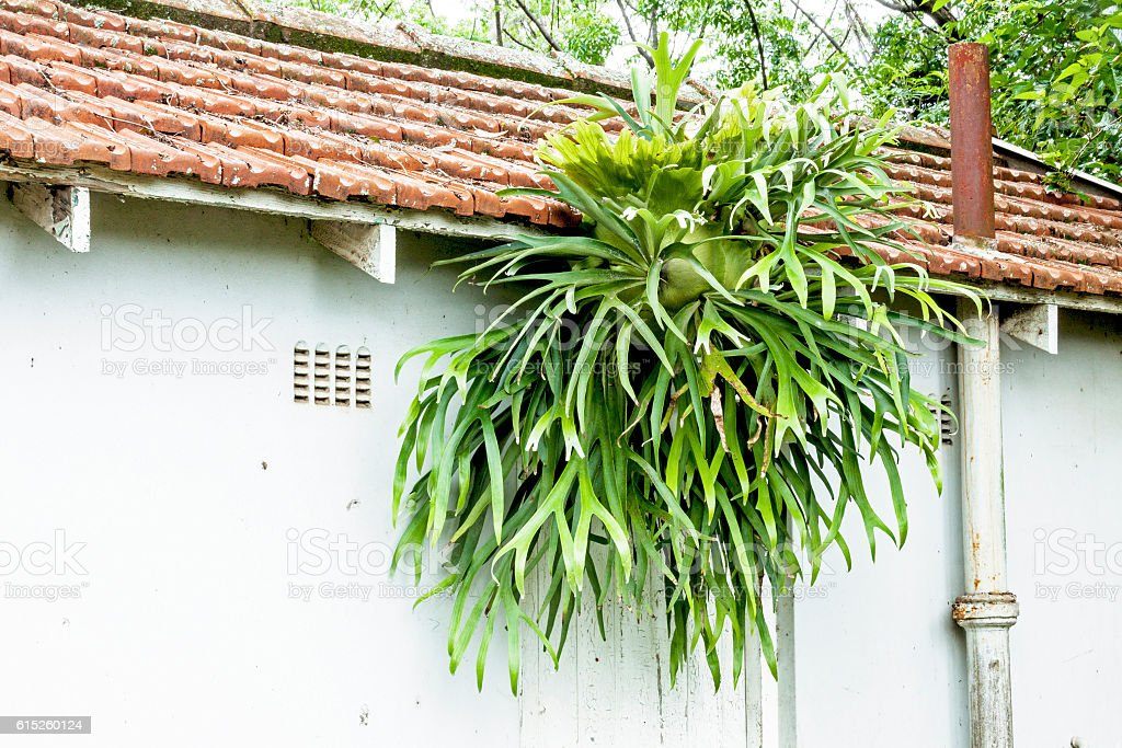 Staghorn Fern Growing on Eaves of Tiled Roof stock photo