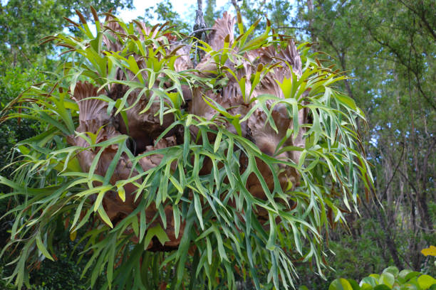 Staghorn Fern in Florida stock photo