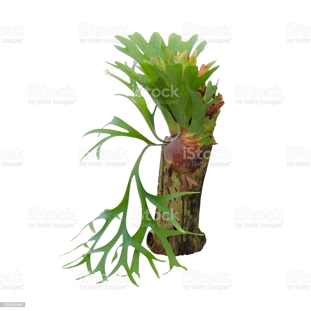 Staghorn fern isolated on white background stock photo