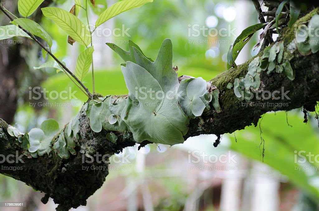 Staghorn Fern Parasite plant growing tree stock photo