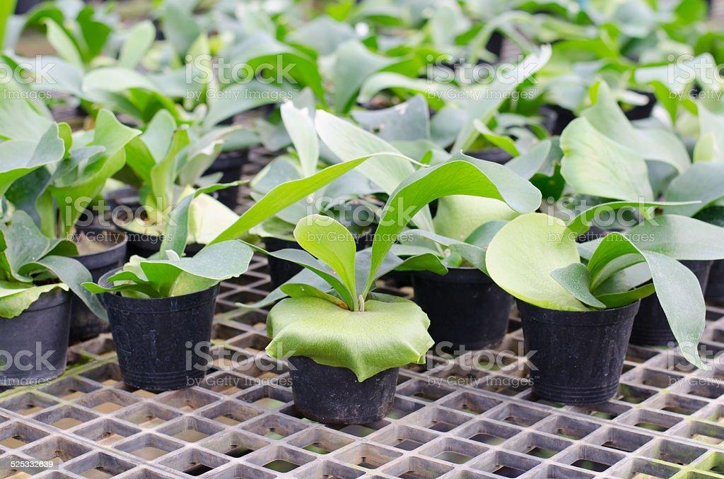 Staghorn fern seedling in pot stock photo
