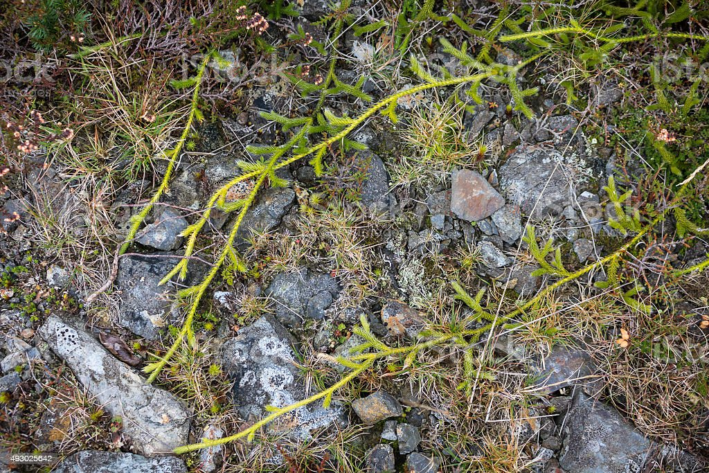Stag's Horn Clubmoss creeping across path stock photo