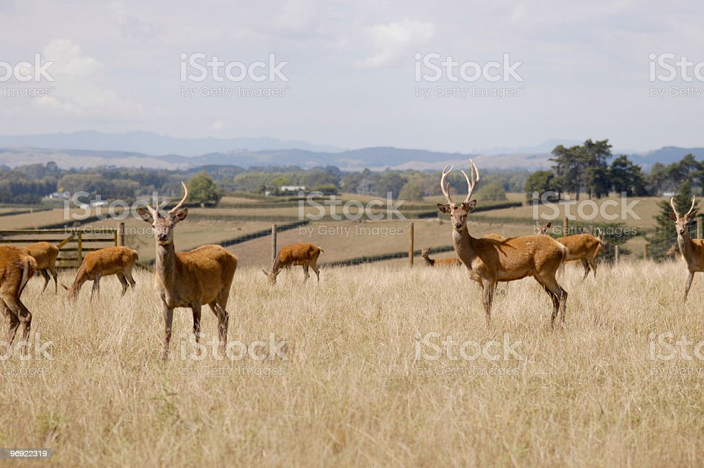 Stags (male deer) posing in a paddock royalty-free stock photo