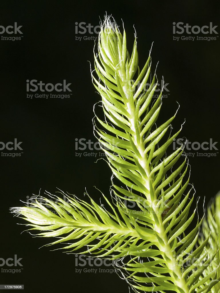 Stag's-horn Clubmoss stock photo