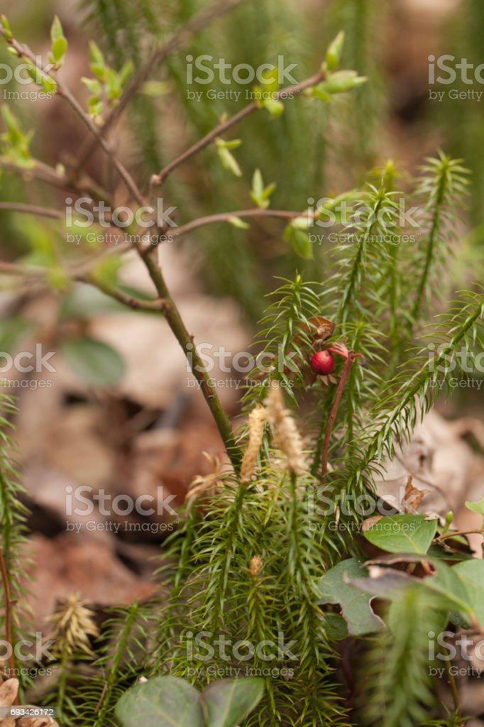 Stagshorn clubmoss (Lycopodium clavatum) stock photo