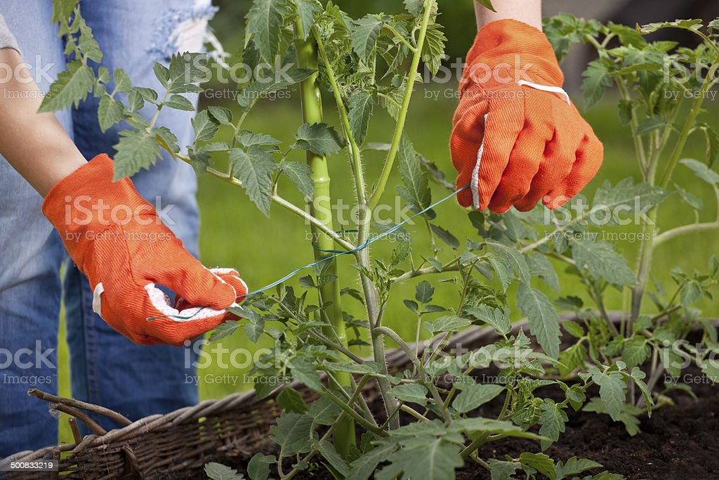 Staking cocktail tomato plants stock photo