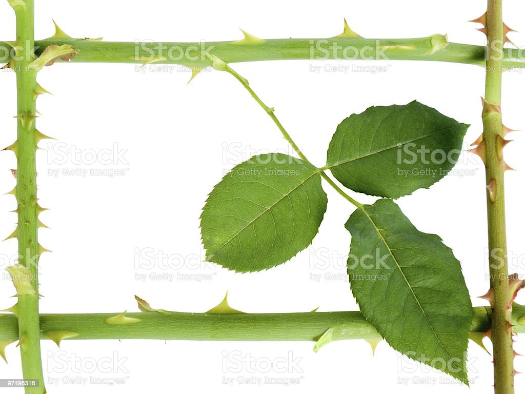 Stalk of a rose with prickles royalty-free stock photo