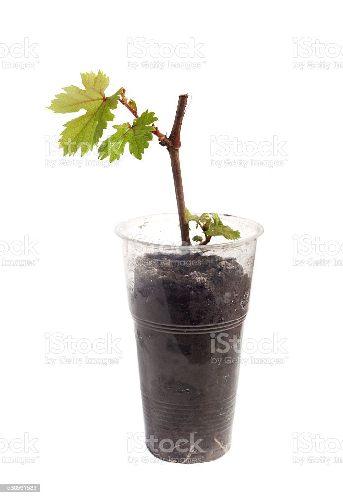 stalk of grapes in a glass isolated stock photo