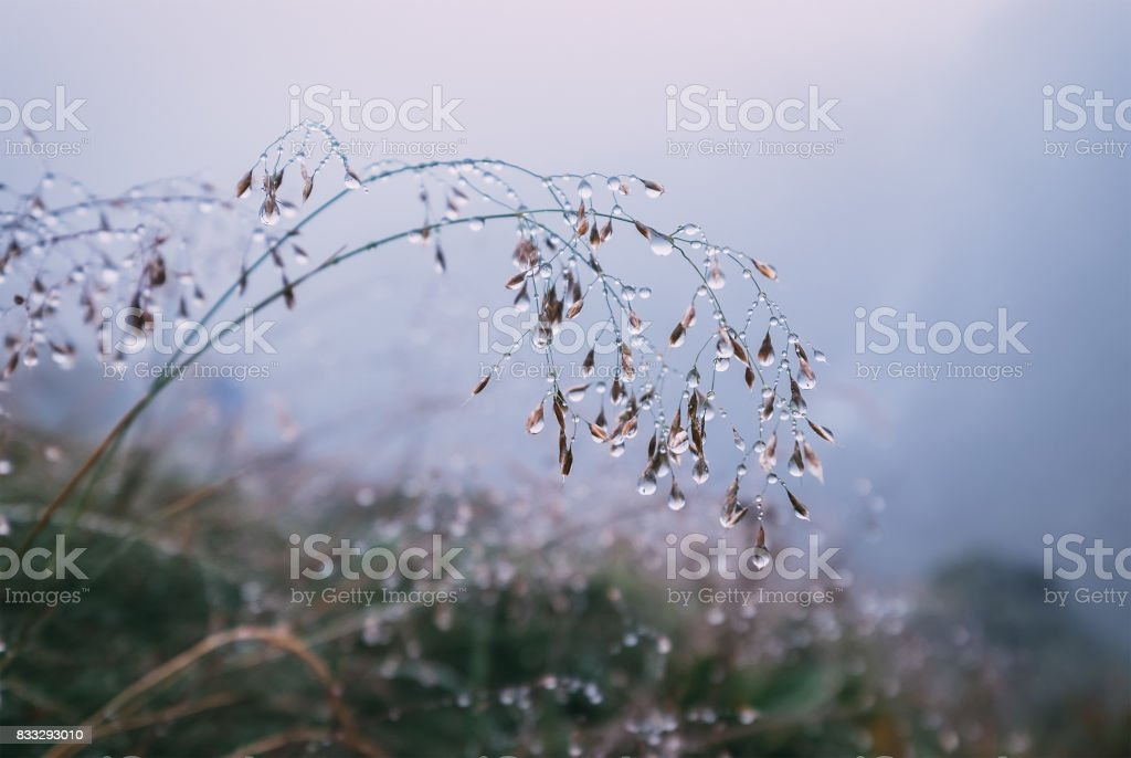 Stalk of grass in water drops stock photo