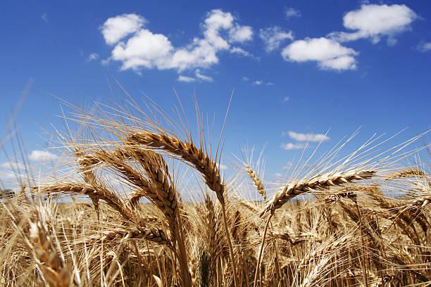 Stalk of wheat in the bright sunshine stock photo