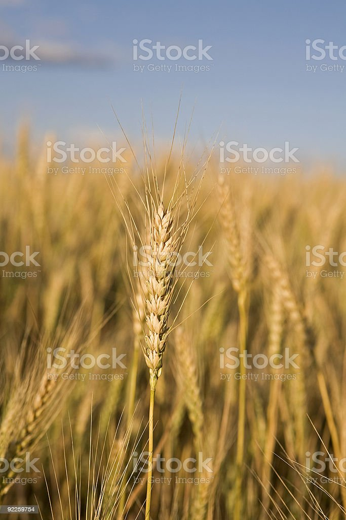 Stalk of Wheat stock photo